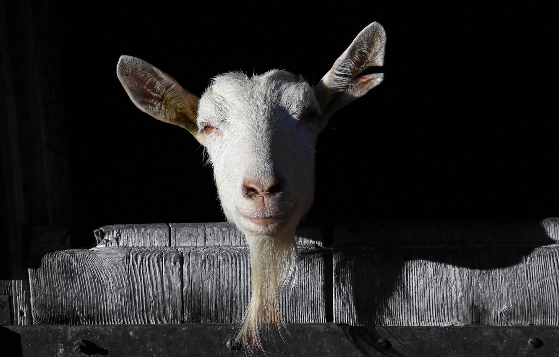 Photo wallpaper nature, background, goat