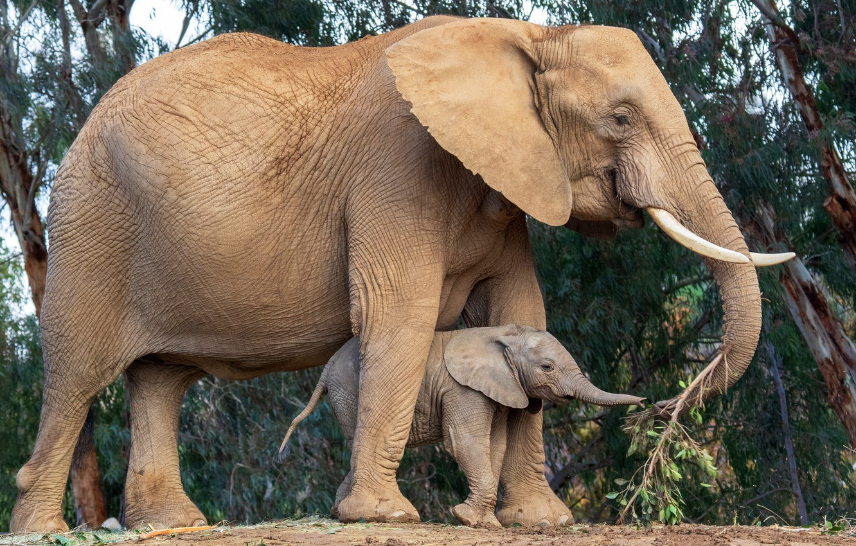Wallpaper Leaves Trees Nature Elephant Baby Pair Walk
