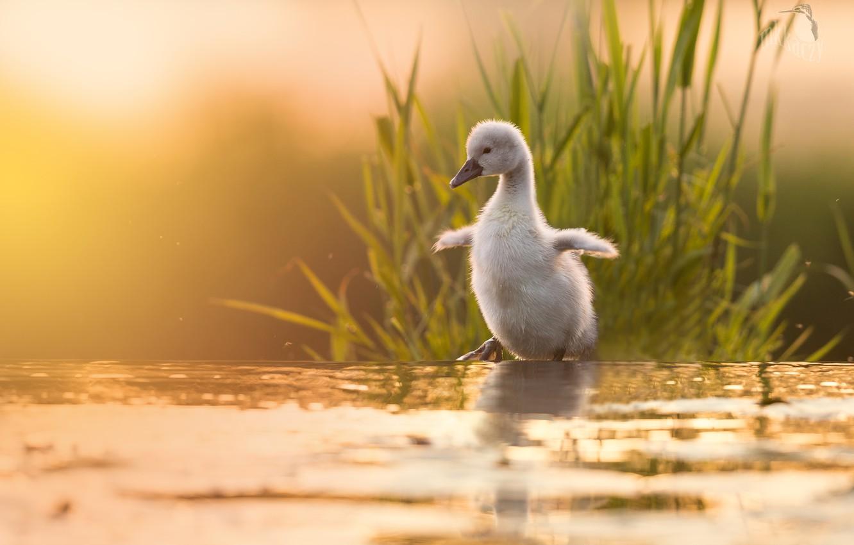 Photo wallpaper grass, water, nature, Swan, chick