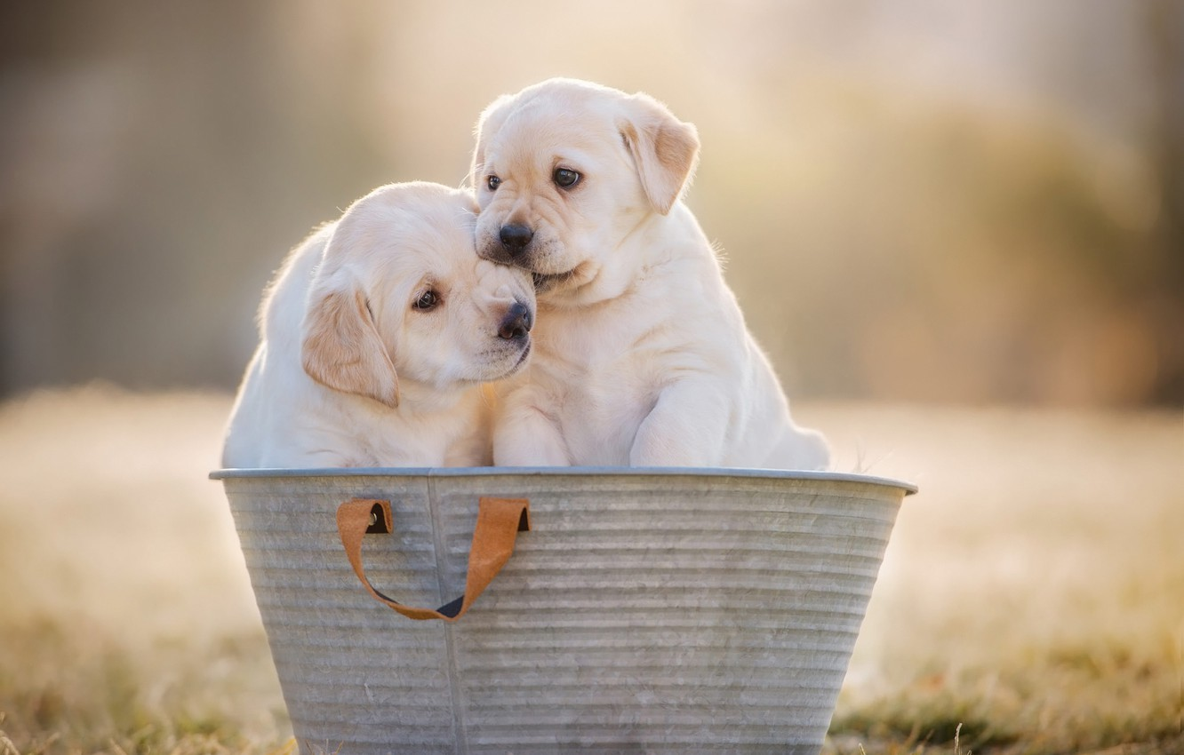 Wallpaper Dogs Background Dog Puppies Pair Puppy White Kids A Couple Labrador Duo Two Retriever Two Dogs Taz Cute Images For Desktop Section Sobaki Download