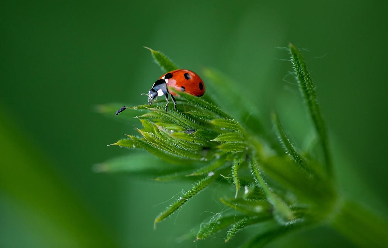 Photo wallpaper grass, macro, background, beetle, insect, Ladybug