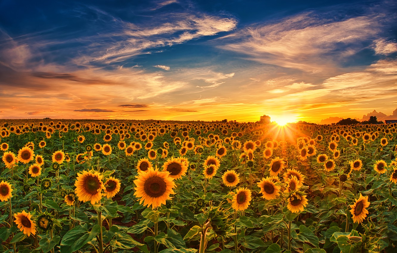 Photo wallpaper field, the sky, sunflowers, sunset, Germany
