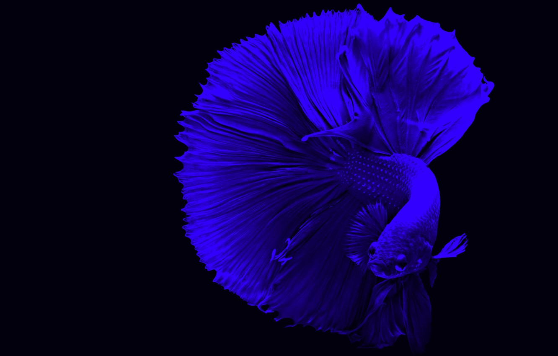 Photo wallpaper blue, fish, betta
