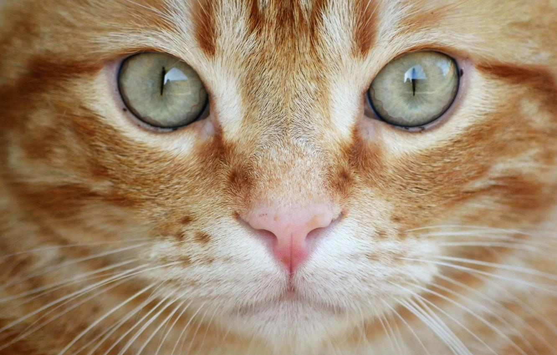 Photo wallpaper cat, eyes, cat, look, close-up, red, muzzle, cat