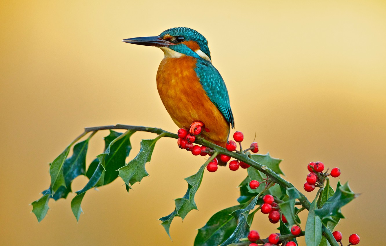 Photo wallpaper berries, background, bird, branch, Kingfisher, Holly