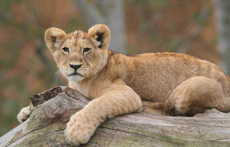 Photo wallpaper photo, predator, Leo, lion