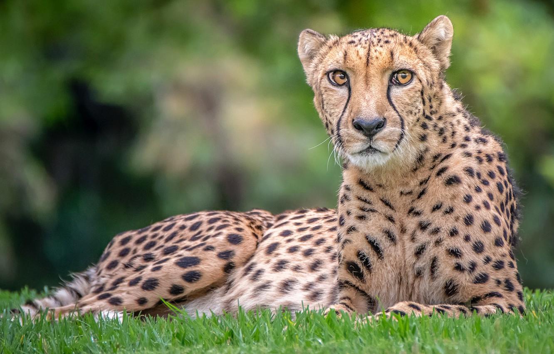 Photo wallpaper look, Cheetah, handsome