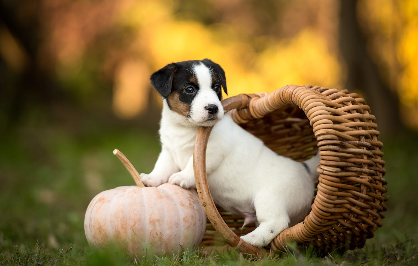 Wallpaper Autumn White Grass Look Nature Pose Park Background Basket Glade Dog Small Garden Baby Cute Puppy Images For Desktop Section Sobaki Download