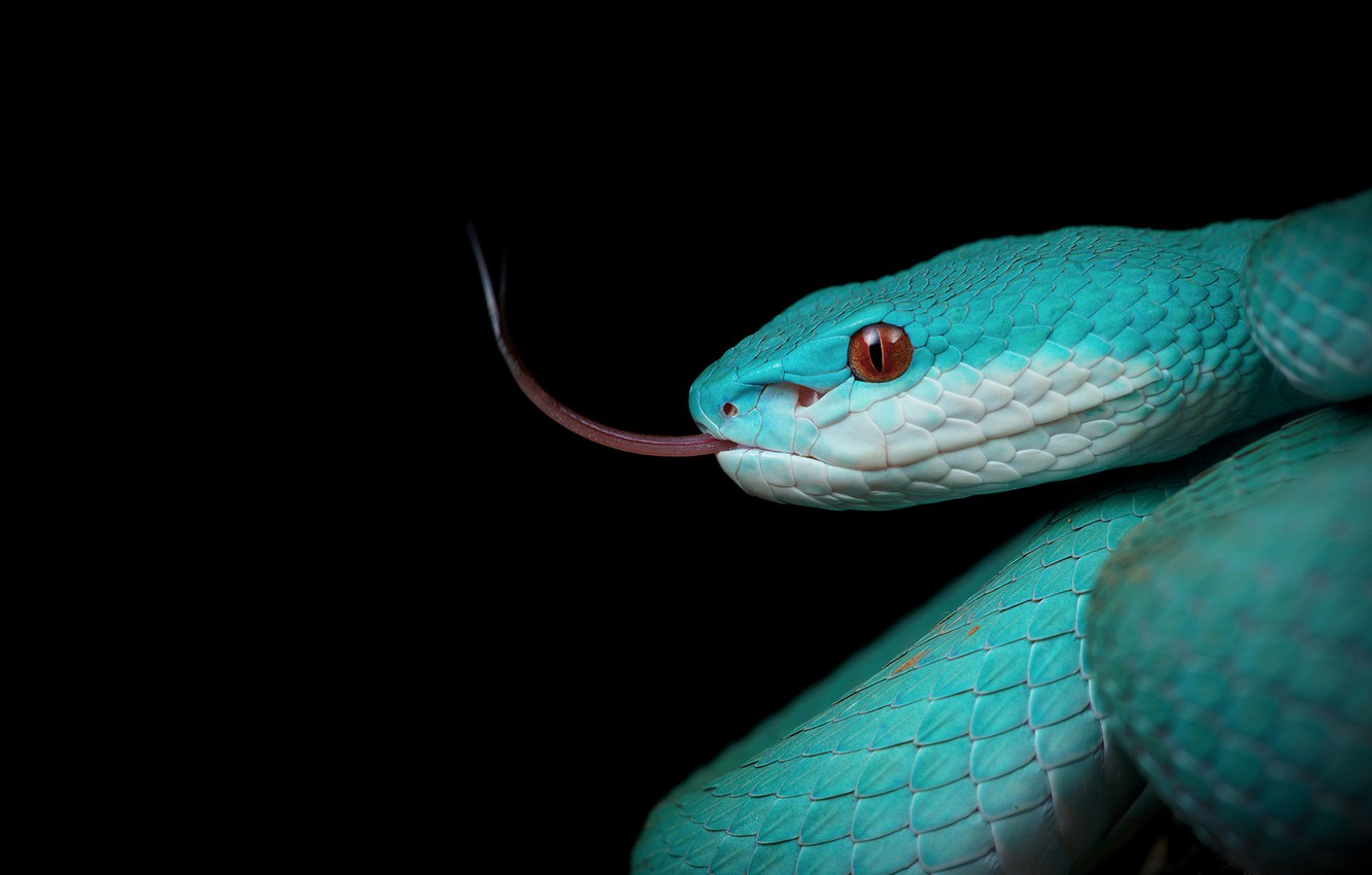 Photo wallpaper snake, black background, sting, the dark background
