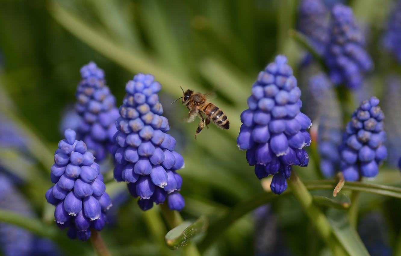 Photo wallpaper flight, flowers, spring, bee, muskarci