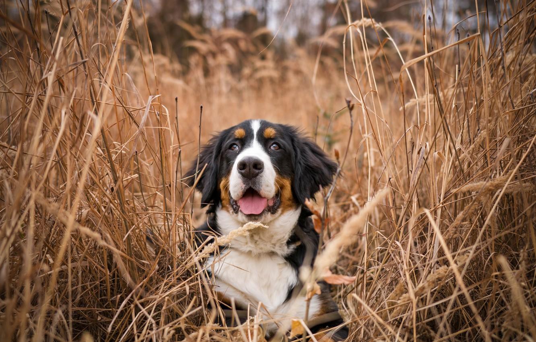 Photo wallpaper grass, nature, dog, Bernese mountain dog