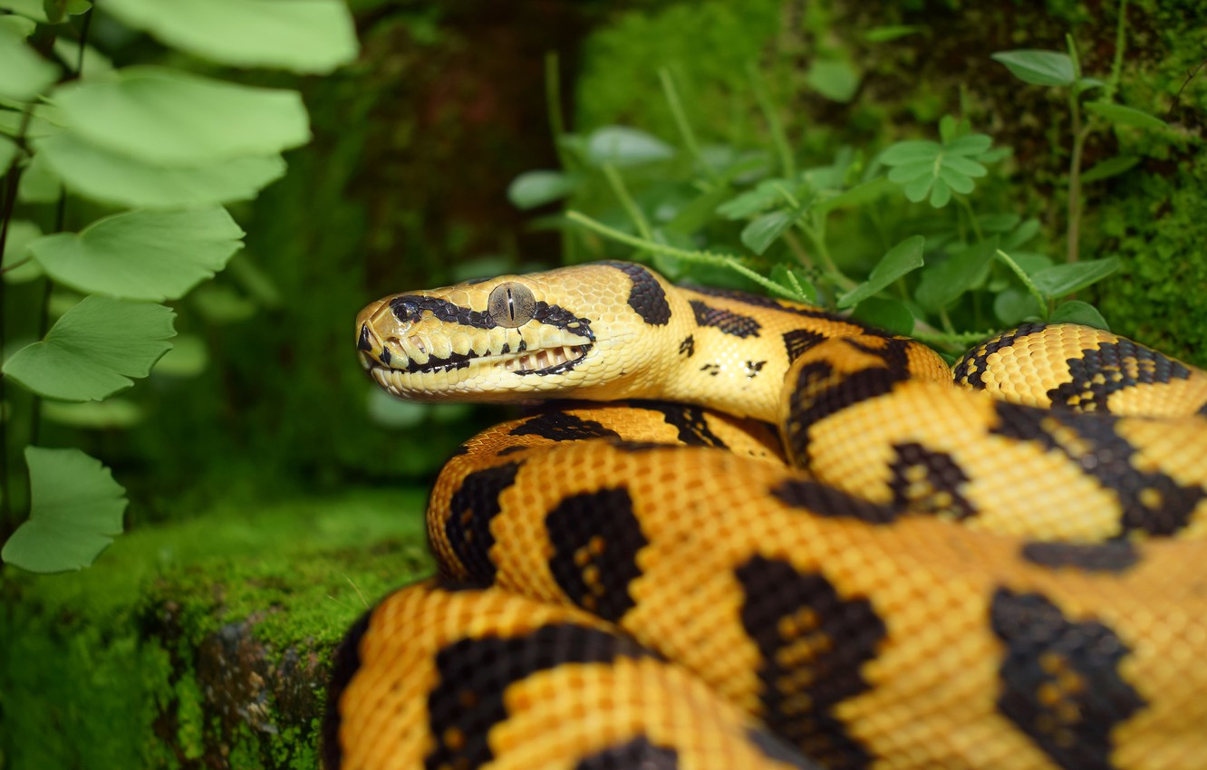 Photo wallpaper greens, look, yellow, nature, snake, Python, spotted