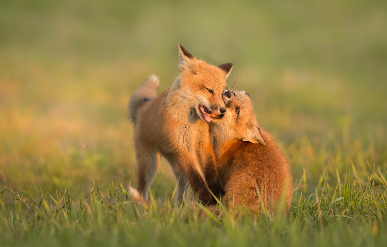 Photo wallpaper glade, the game, Fox, a couple, Fox, cubs, two Fox