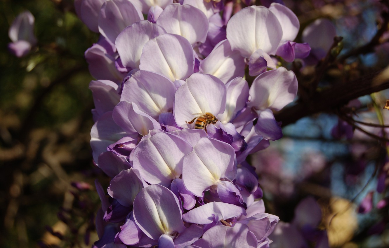 Photo wallpaper flowers, branches, bee, insect, flowering, inflorescence, lilac, bokeh, Wisteria, Wisteria