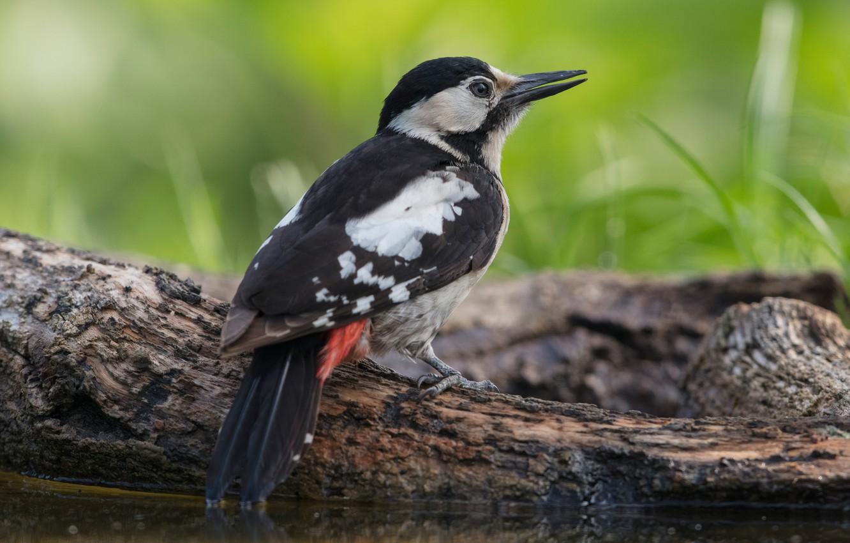 Photo wallpaper bird, shore, woodpecker, log, pond