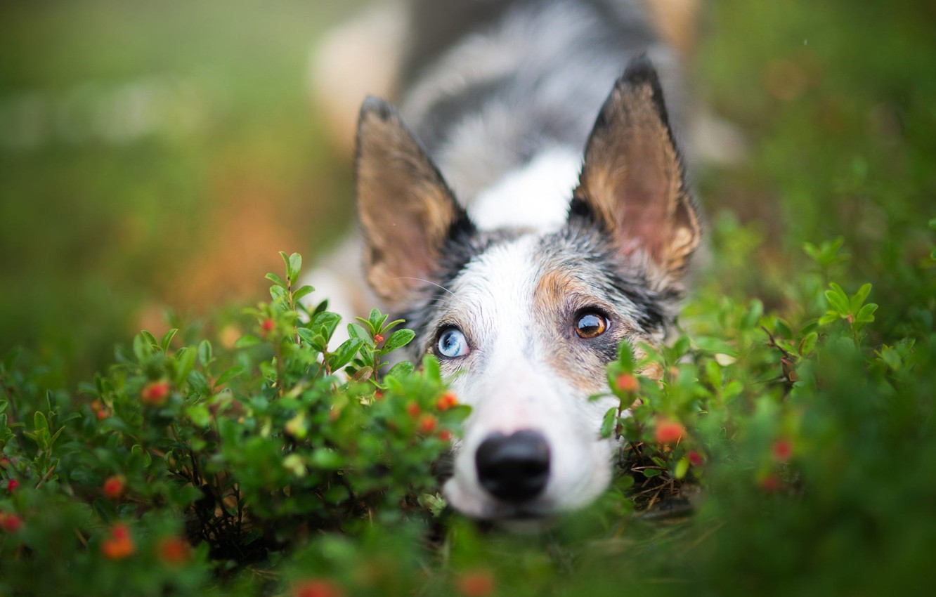 Photo wallpaper eyes, look, nature, berries, portrait, dog, cute, puppy, lies, leaves, ears, green background, spotted, different …