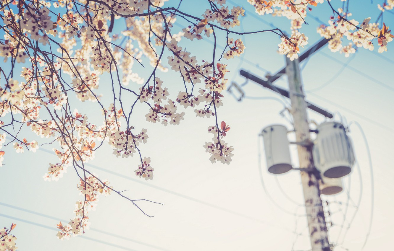 Photo wallpaper flower, cherry, wire, plant, post, spring, electricity