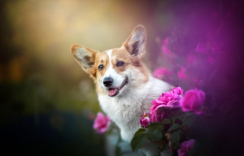 Photo wallpaper flowers, roses, dog, face, bokeh, Welsh Corgi