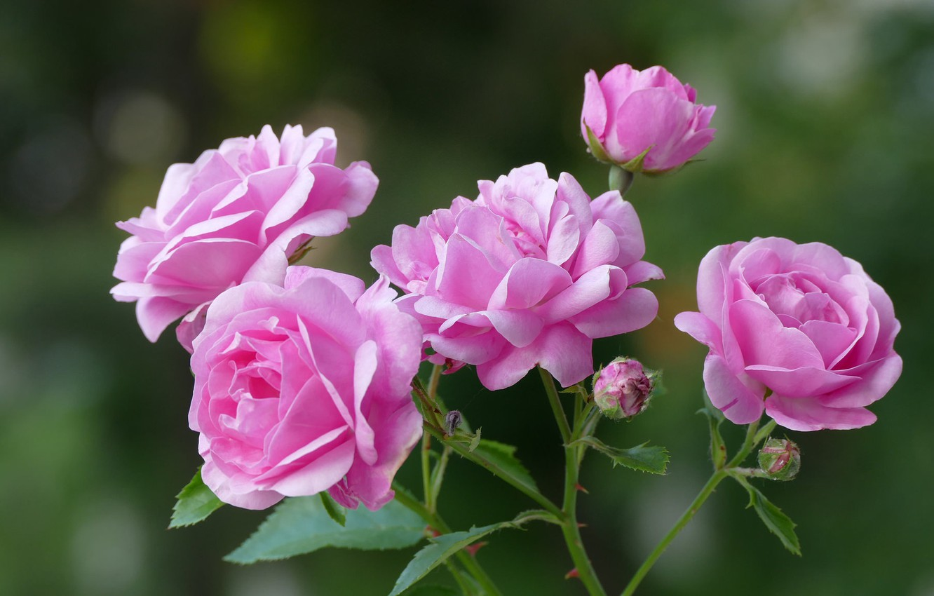 Photo wallpaper background, roses, petals, pink, buds