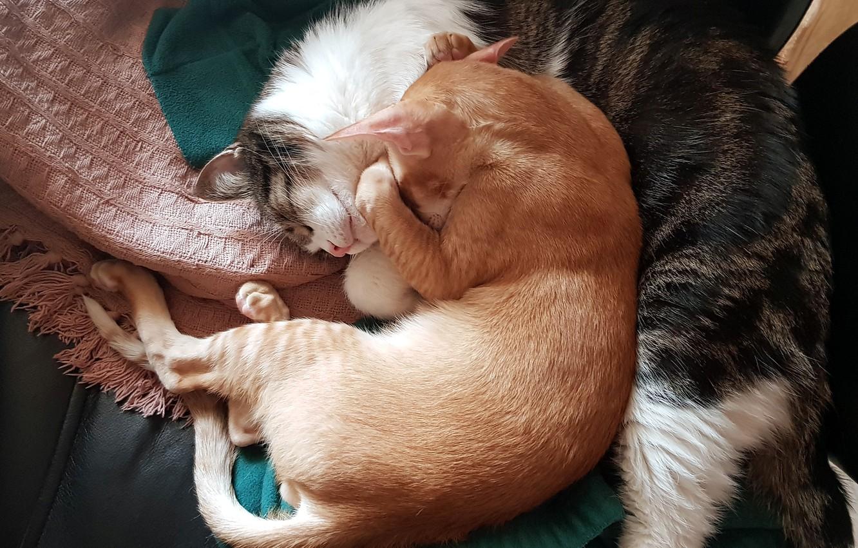 Photo wallpaper cat, cats, day, Pets, sleeping cat, sleeping cats, day dream, the cat sleeps, cats sleep, …