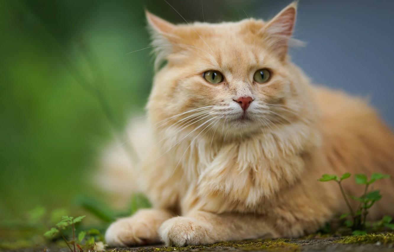 Photo wallpaper cat, cat, look, portrait, red, muzzle, bokeh, cat