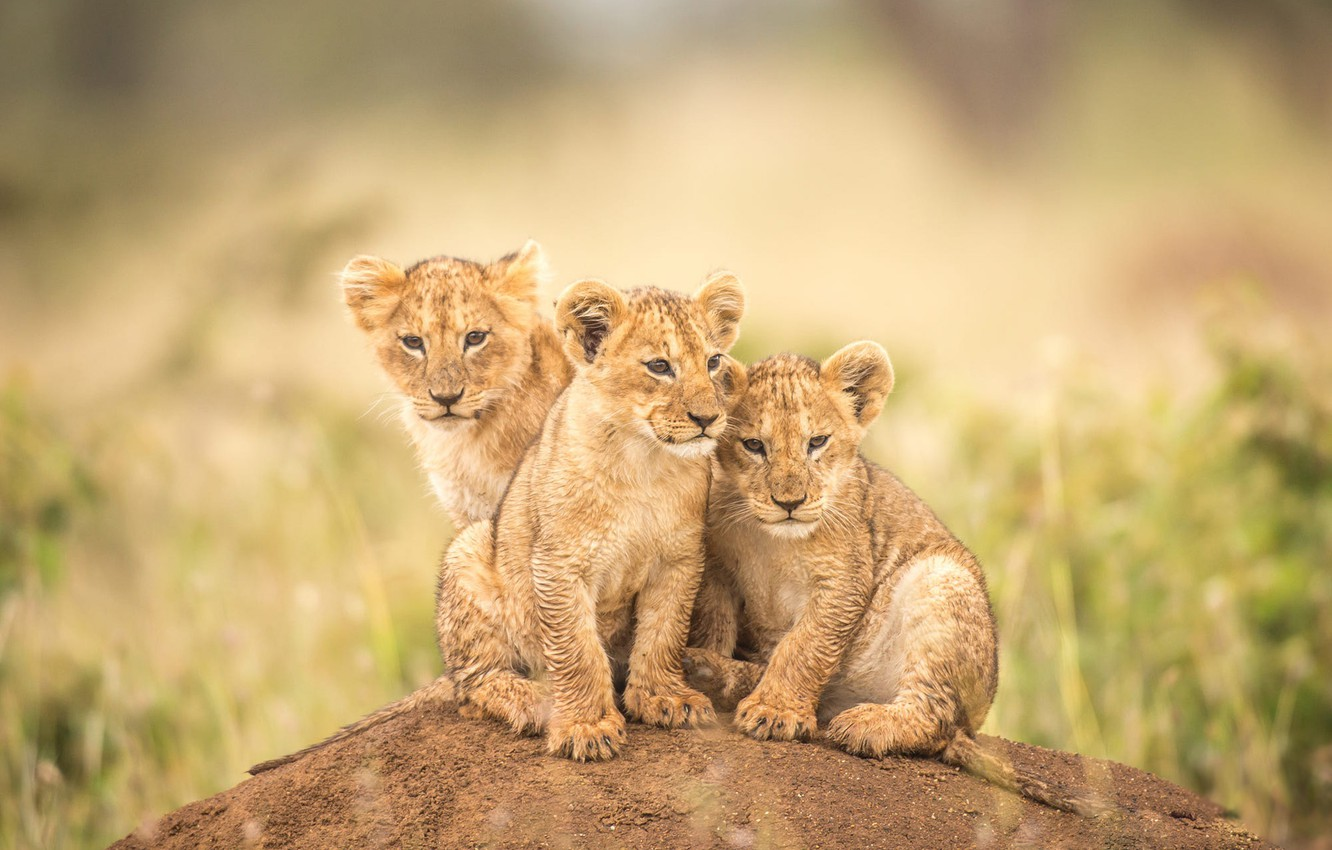 Photo wallpaper look, cats, nature, pose, background, hill, kittens, three, kids, company, the cubs, trio, lion, wild, …