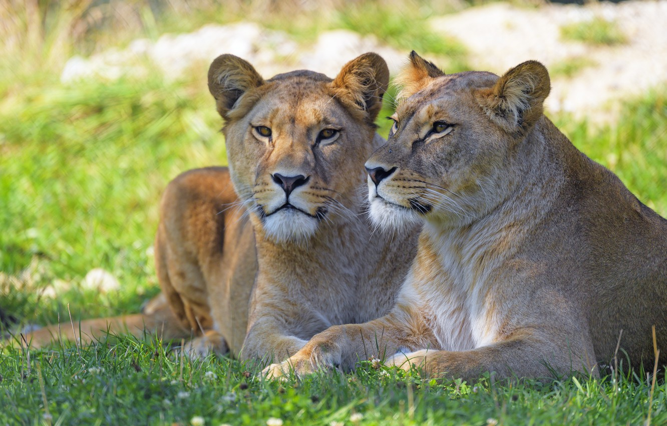 Photo wallpaper grass, stay, two, pair, lioness, muzzle, lie, bokeh, lioness