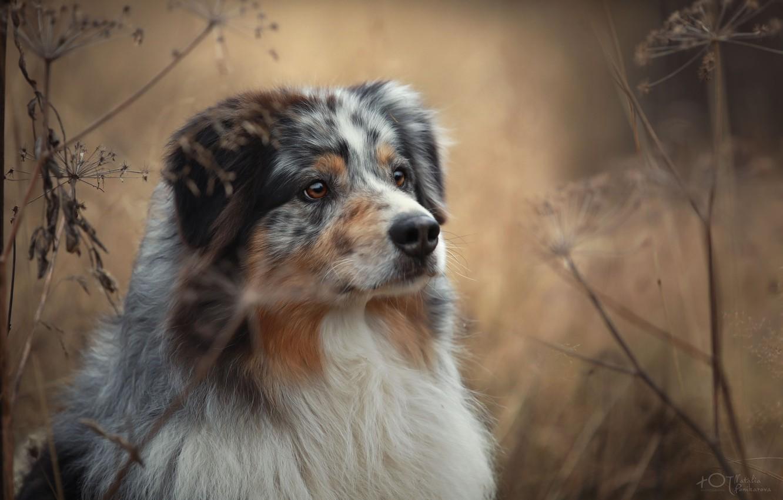 Photo wallpaper autumn, grass, nature, animal, dog, dog, Aussie