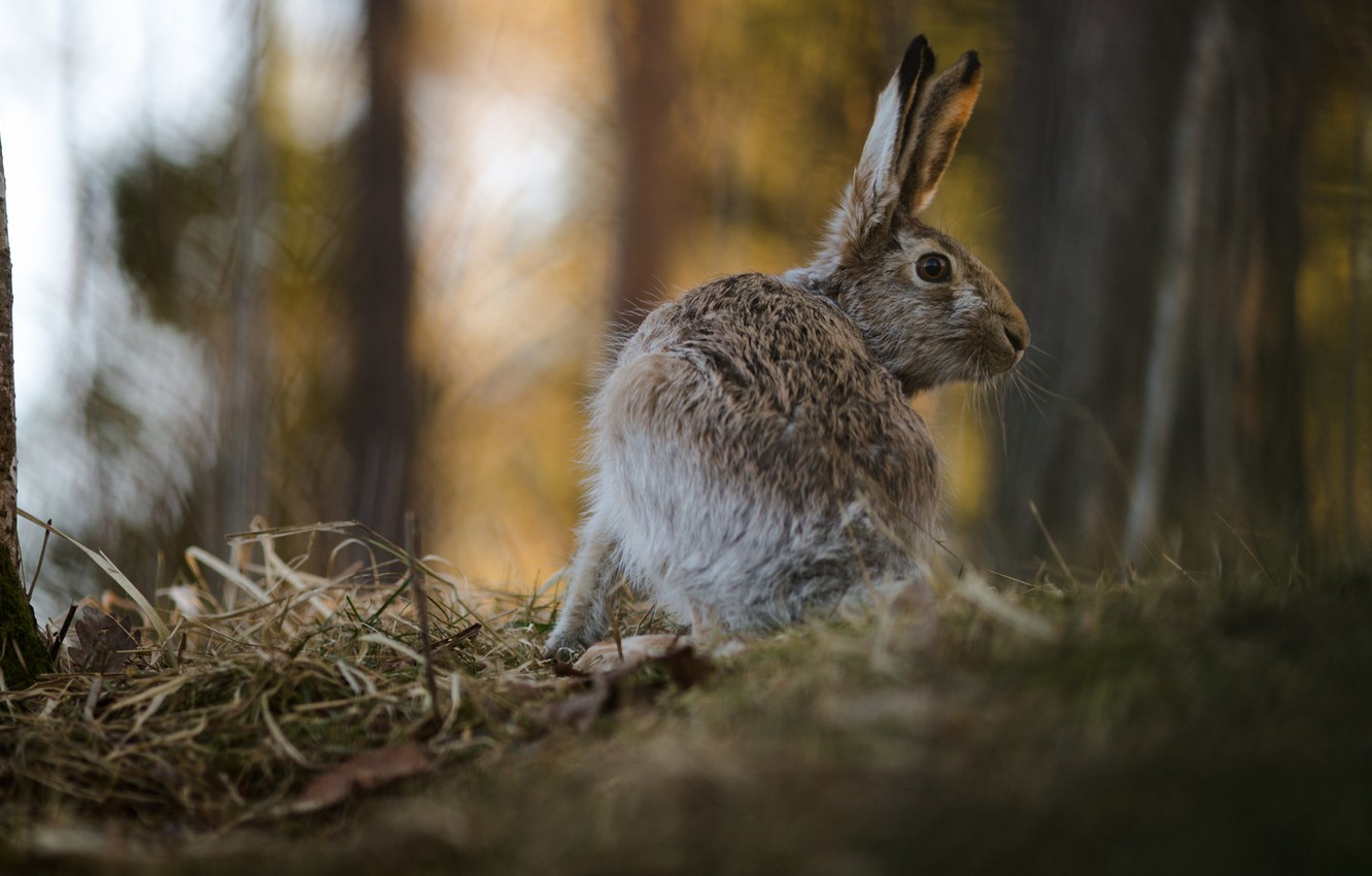 Photo wallpaper forest, nature, pose, background, hare, blur, ears, Bunny