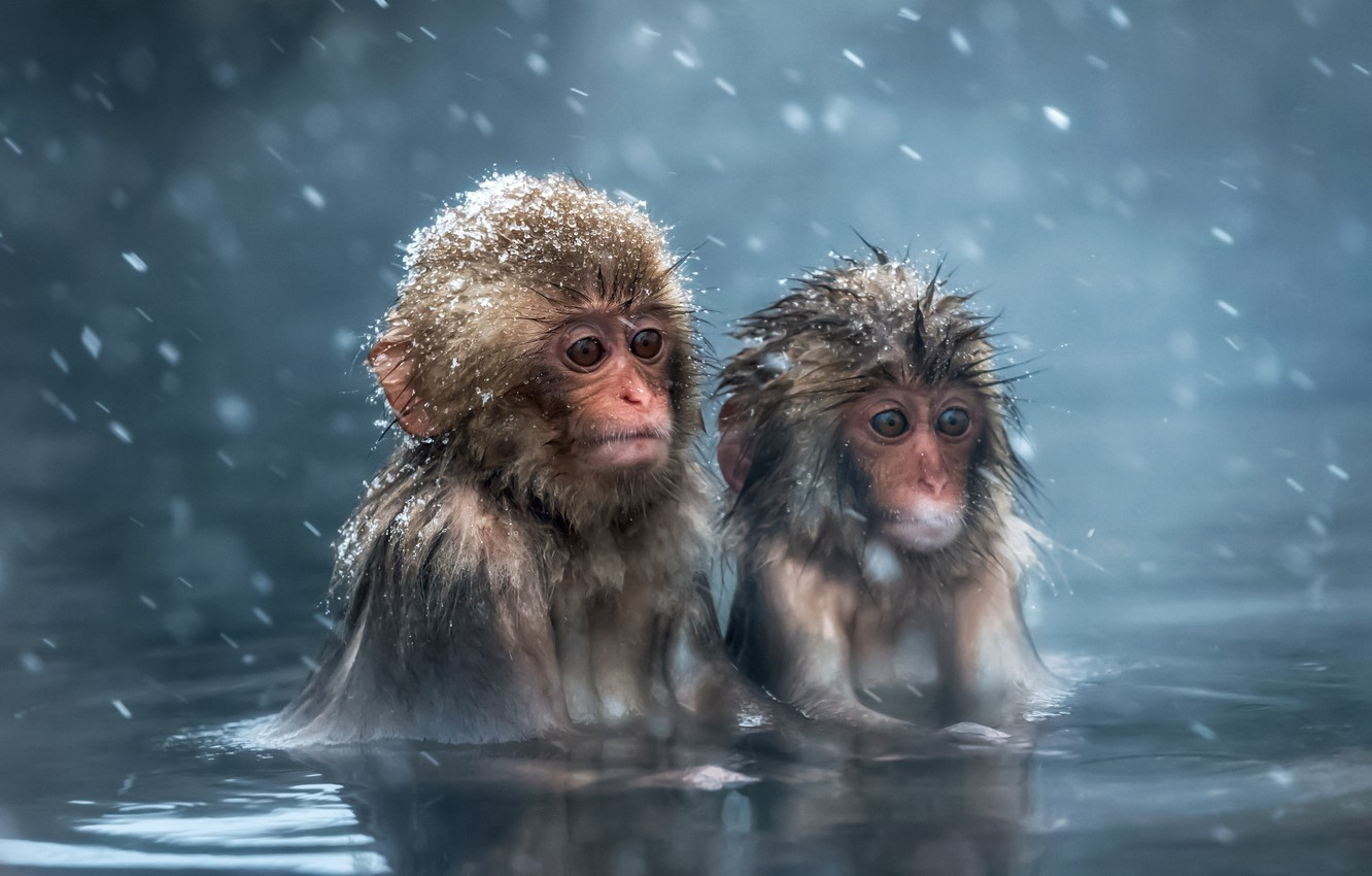 Photo wallpaper animals, look, water, snow, macaques, wool, bathing, monkey, monkey, cub, monkey, the primacy of, Japanese …
