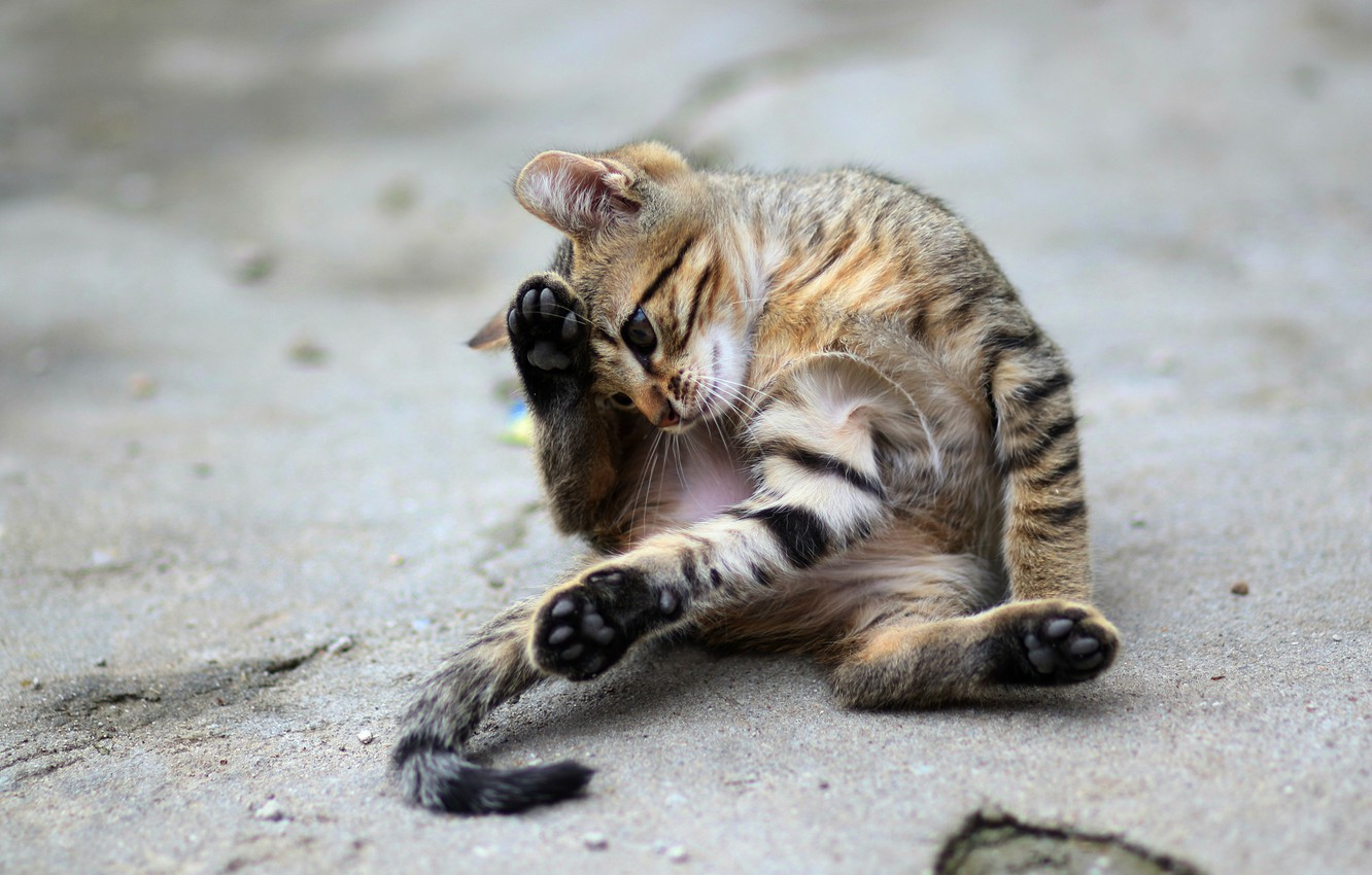 Photo wallpaper road, cat, look, asphalt, pose, kitty, grey, street, the game, paws, tail, kitty, sitting, striped