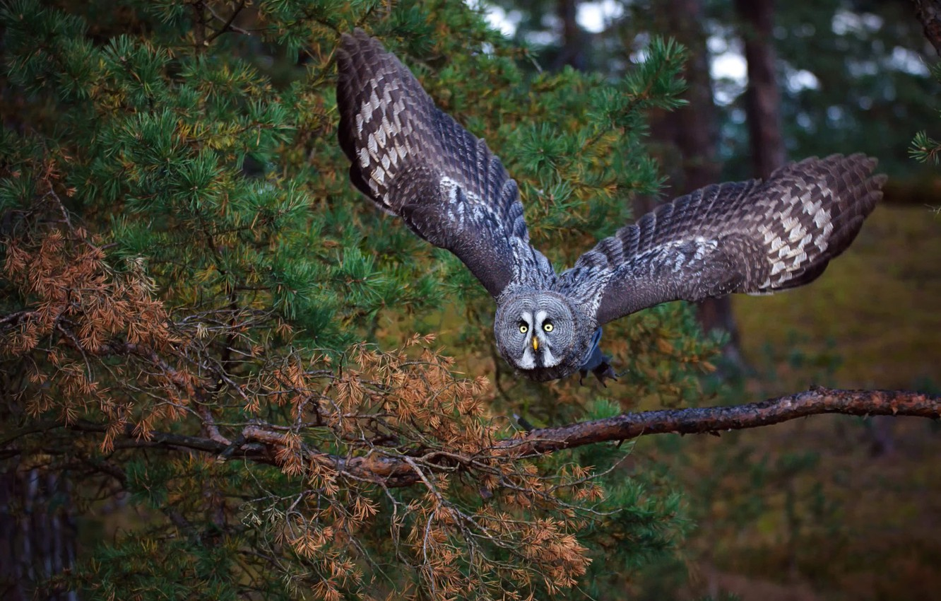Photo wallpaper forest, look, trees, flight, branches, green, the dark background, background, owl, bird, trunks, foliage, wings, …
