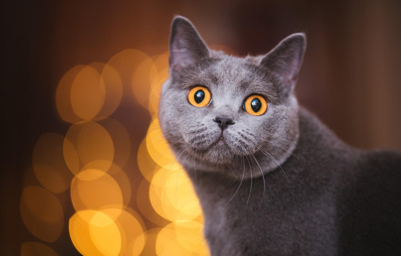 Photo wallpaper cat, cat, look, face, the dark background, portrait, grey, bokeh, yellow eyes, British, smoky