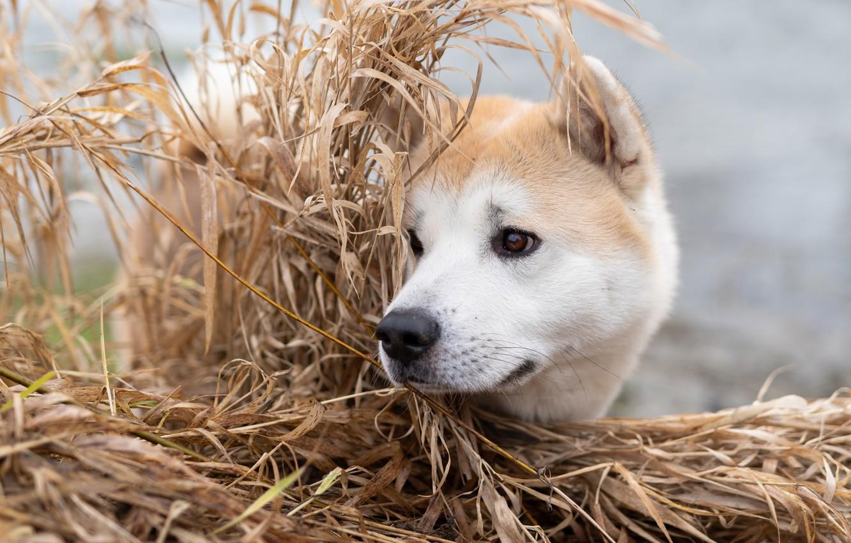 Photo wallpaper grass, face, dog, Akita inu