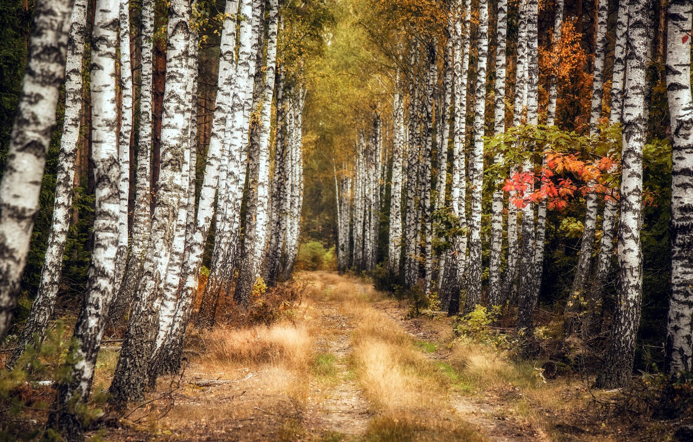 Photo wallpaper autumn, nature, birch, grove