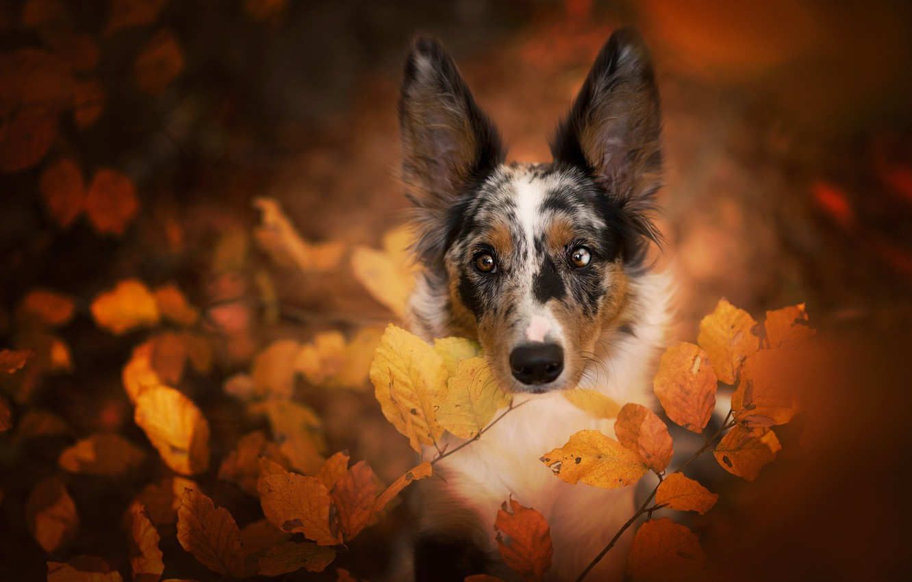 Photo wallpaper autumn, leaves, nature, portrait, dog, the border collie