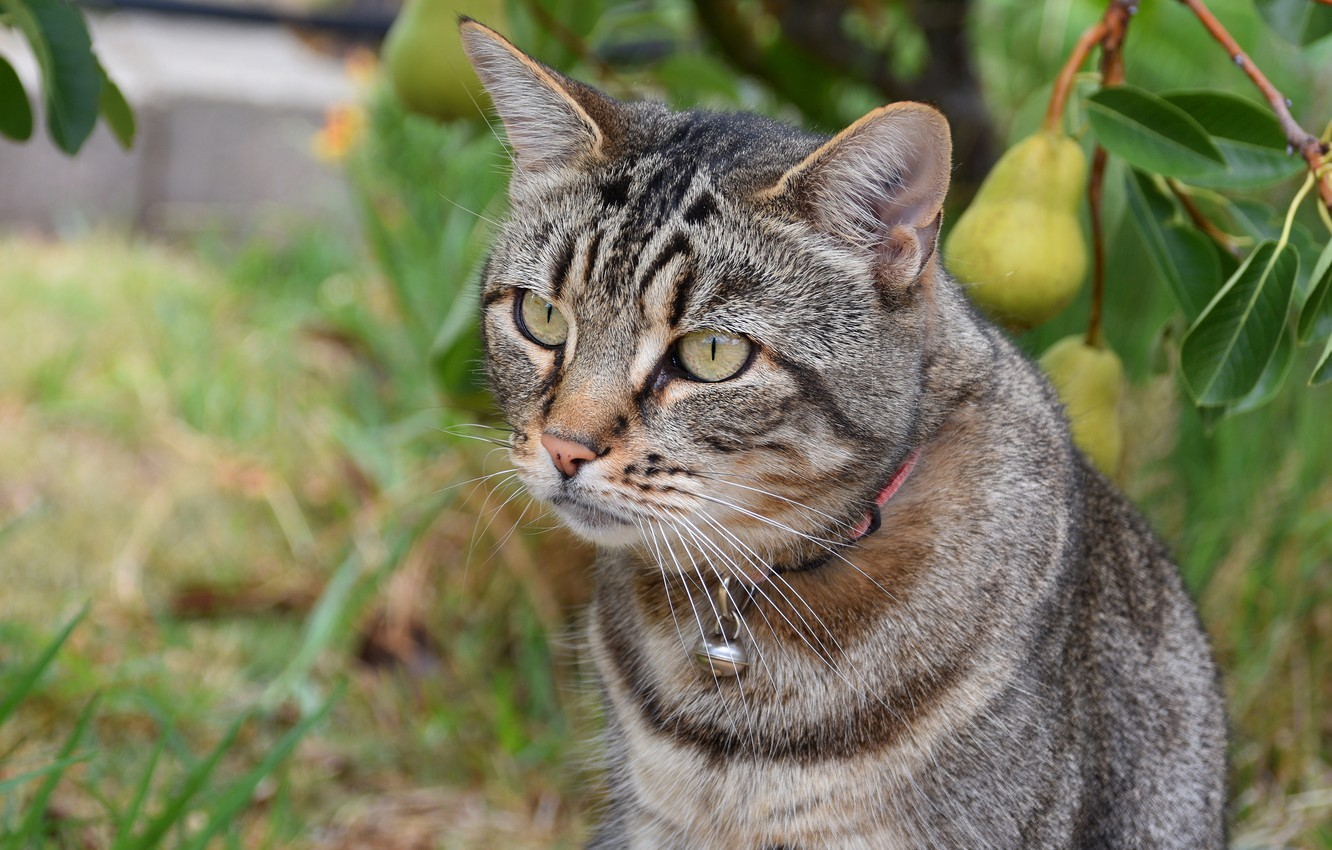 Photo wallpaper cat, summer, cat, look, face, leaves, grey, portrait, branch, garden, fruit, collar, striped, pear