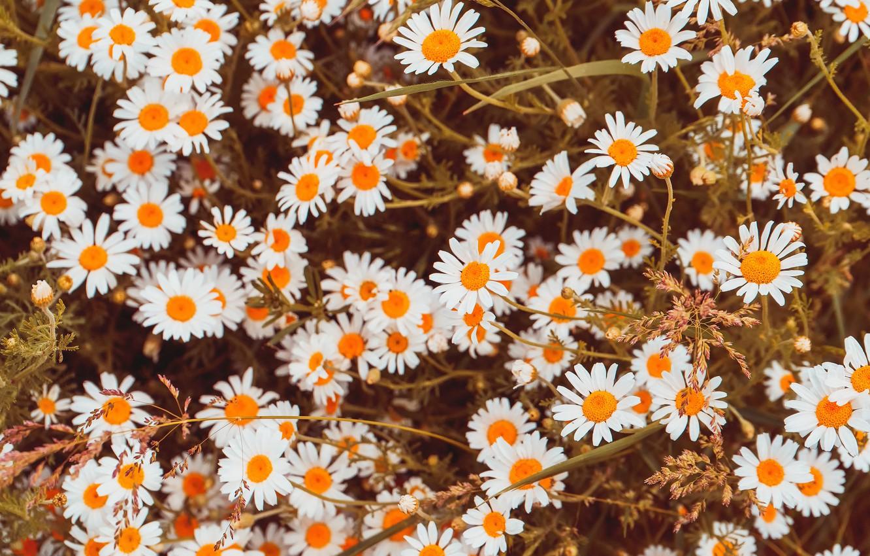 Photo wallpaper flowers, glade, chamomile, white, a lot, bokeh, chamomile field