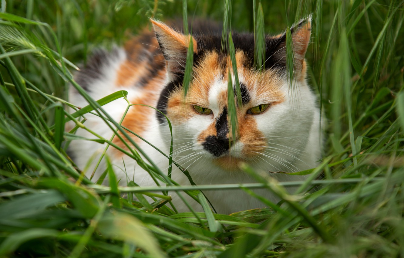 Photo wallpaper field, cat, summer, grass, cat, look, face, nature, pose, glade, portrait, spikelets, ears, red, green …