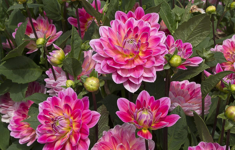 Photo wallpaper pink, petals, dahlias