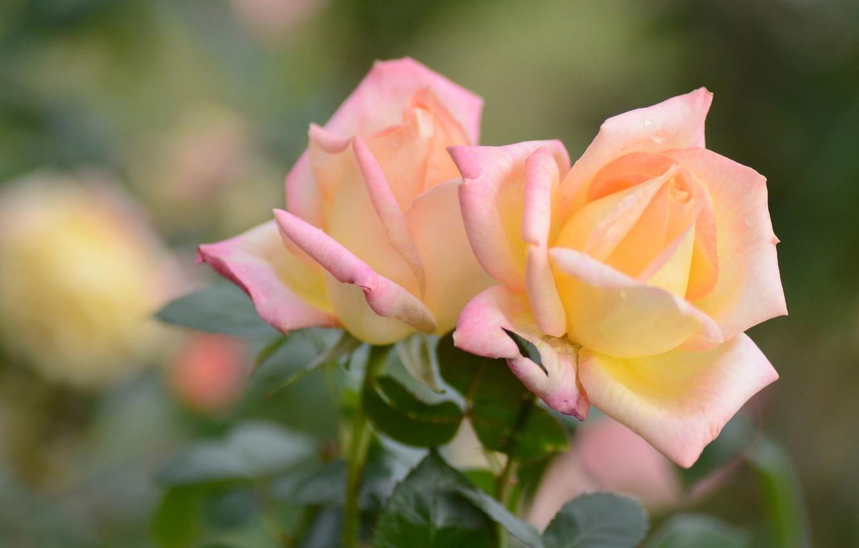 Photo wallpaper macro, roses, petals, bokeh