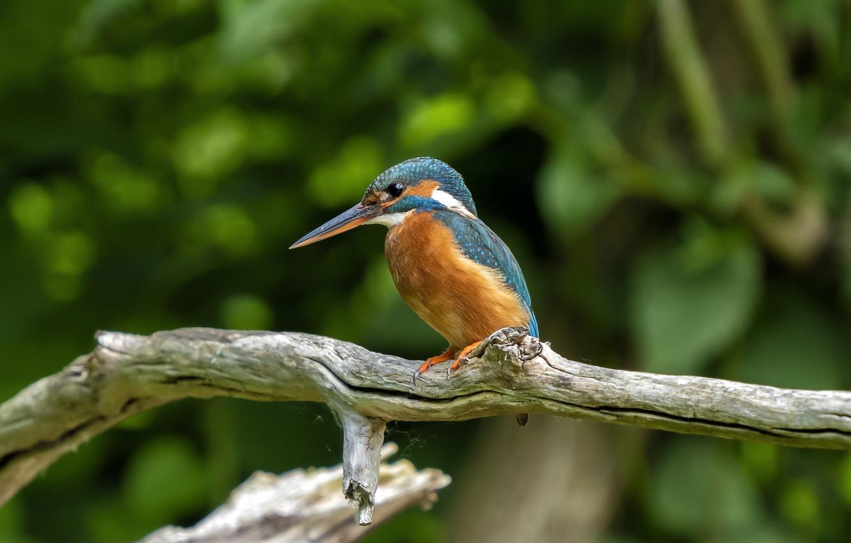 Photo wallpaper bird, branch, Kingfisher