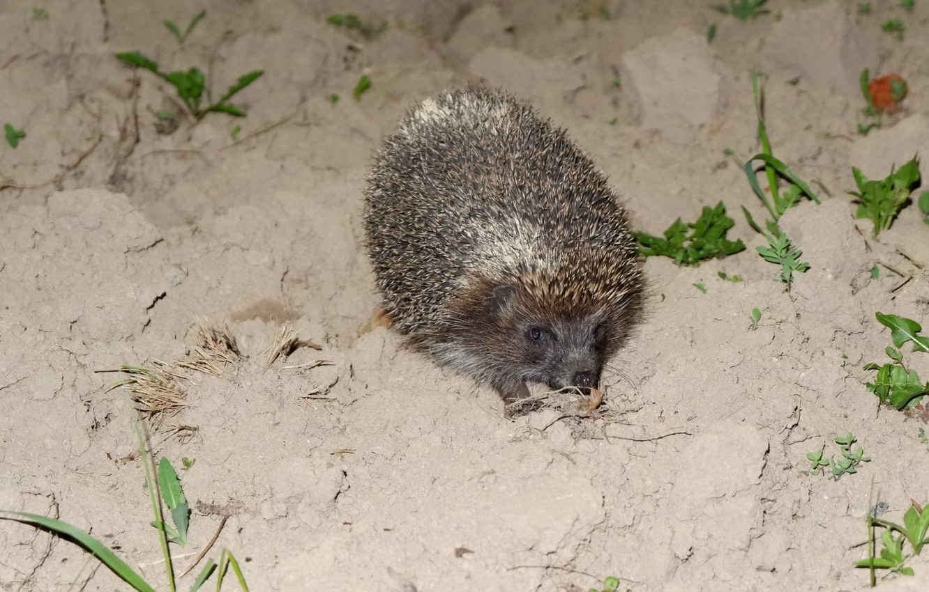 Photo wallpaper eyes, face, night, barbed, earth, hedgehog, spout, ear, tricky, the garden, animal, foot, hedgehog