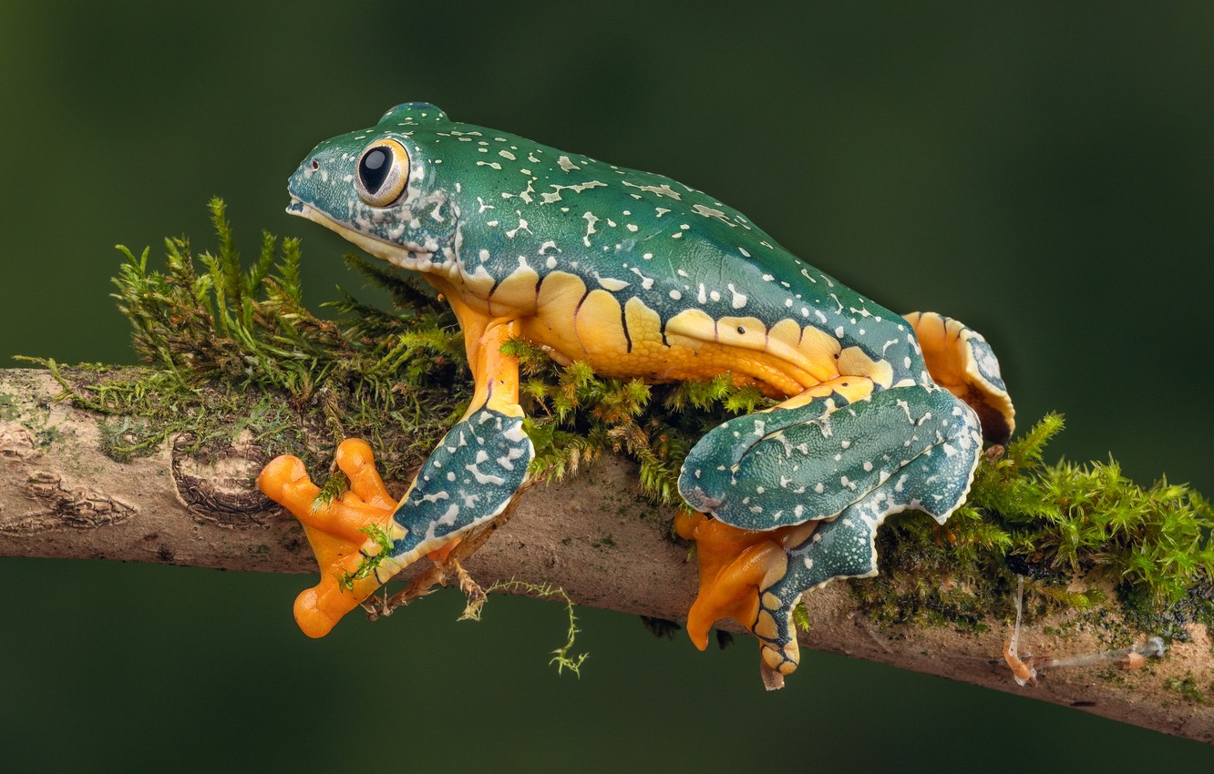 Photo wallpaper frog, branch, whimsical tree frog, fringed tree frog