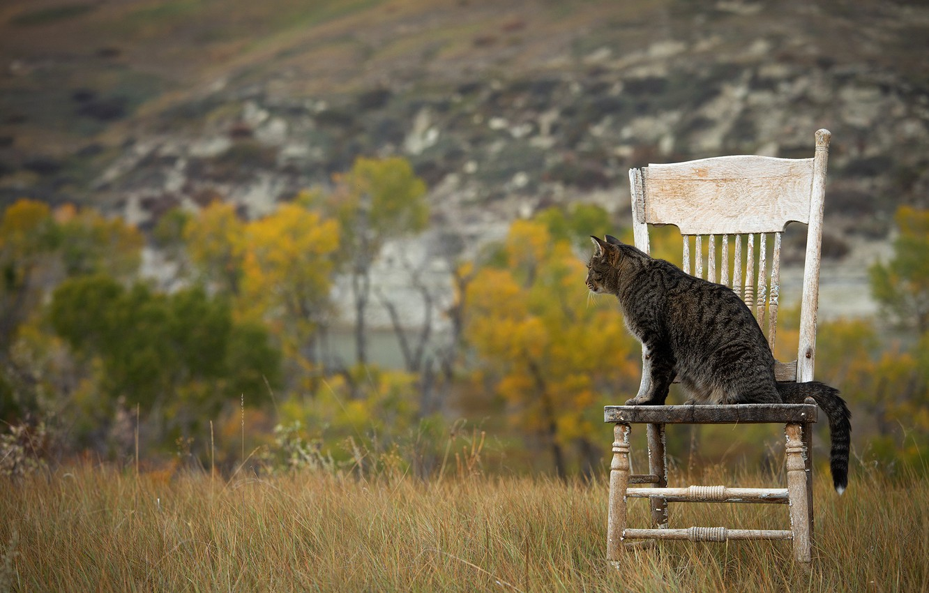 Photo wallpaper field, autumn, cat, grass, cat, look, trees, nature, pose, grey, hill, chair, wooden, old, sitting, …