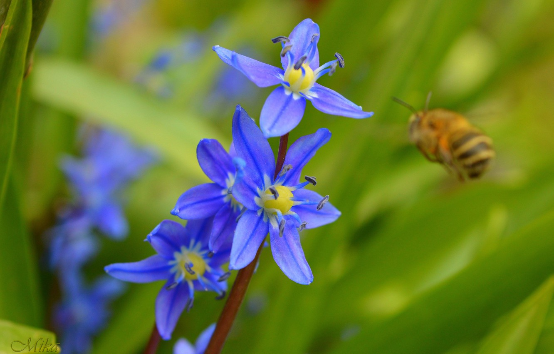 Photo wallpaper Flowers, blue flowers, Blue flowers