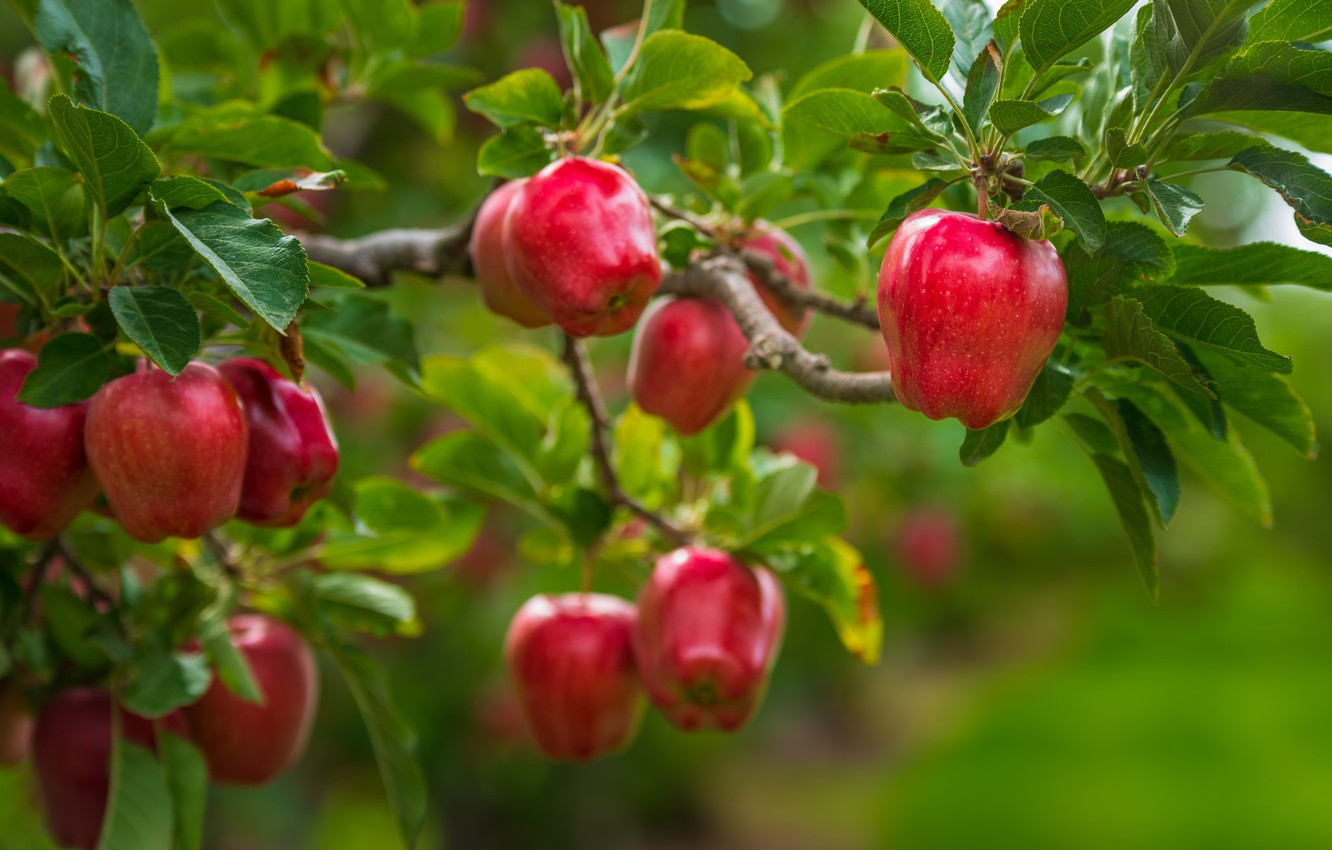 Photo wallpaper leaves, branches, tree, apples, food, garden, harvest, red, fruit, green background, juicy, ripe, liquid