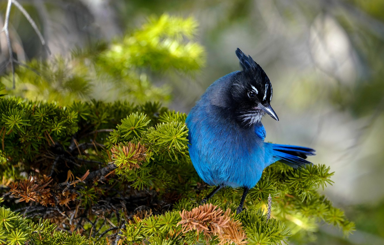 Photo wallpaper branches, bird, needles, blue, blue, bokeh, Jay