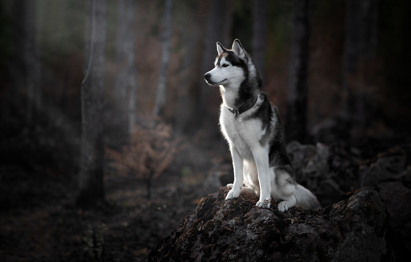 Wallpaper Forest Dog Husky Images For Desktop Section Sobaki Download