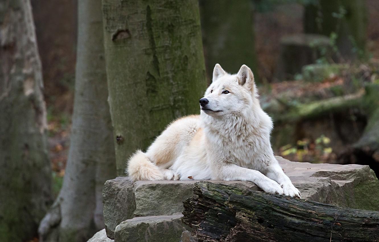 Photo wallpaper forest, white, stones, wolf, lies, log, polar